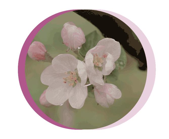 apple-flower
